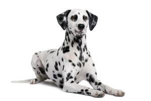Chihuahua et Dalmatien dans Les animaux 2-300x200